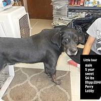 Adopt A Pet :: Little Bear - Hazard, KY