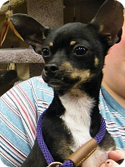 Chihuahua Mix Dog for adoption in Macon, Georgia - Gizmo