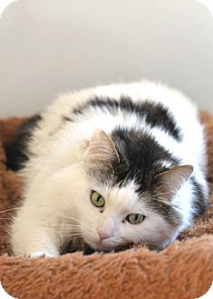 Domestic Longhair Cat for adoption in Greensburg, Pennsylvania - Fluff