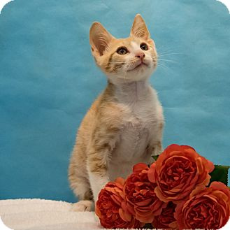 Domestic Shorthair Kitten for adoption in Houston, Texas - Floy