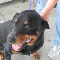 Rottweiler Mix Dog for adoption in Cibolo, Texas - Duchess