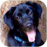 Labrador Retriever Puppy for adoption in Pittsboro/Durham, North Carolina - Duncan