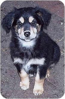 Shepherd (Unknown Type) Mix Puppy for adoption in Owatonna, Minnesota - Oleecia