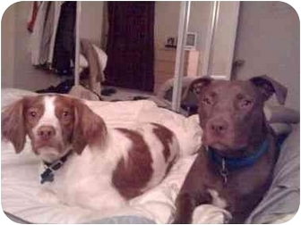 Labrador Retriever/American Pit Bull Terrier Mix Dog for adoption in Berkeley, California - Charlotte