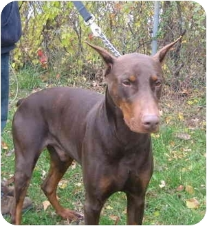Doberman Pinscher Dog for adoption in Portsmouth, Rhode Island - Boss