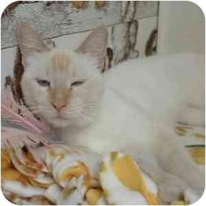 Siamese Cat for adoption in Phoenix, Arizona - Skye
