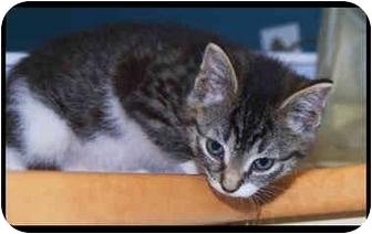 Domestic Shorthair Kitten for adoption in Montreal, Quebec - Penelope