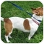 Photo 2 - Jack Russell Terrier Mix Dog for adoption in Sugar Land, Texas - Cricket