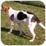 Photo 2 - Hound (Unknown Type)/Foxhound Mix Dog for adoption in Aledo, Illinois - Lady