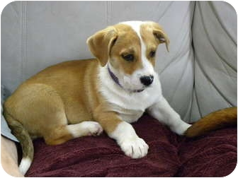 American Staffordshire Terrier/Corgi Mix Puppy for adoption in Homer, New York - Dixie-Do