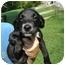 Photo 2 - Border Collie/Springer Spaniel Mix Puppy for adoption in Bel Air, Maryland - Dallas