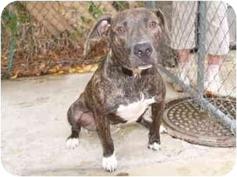 Pit Bull Terrier Mix Dog for adoption in El Cajon, California - Lacey