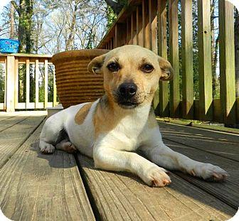 Rat Terrier Mix Dog for adoption in Jacksonville, North Carolina - Catolina
