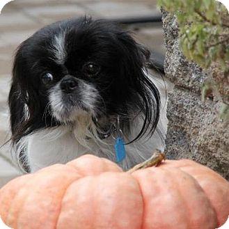 Pekingese Mix Dog for adoption in Virginia Beach, Virginia - Macaroon