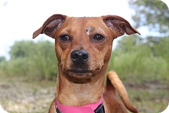 Miniature Pinscher Mix Dog for adoption in Waldorf, Maryland - Canelle