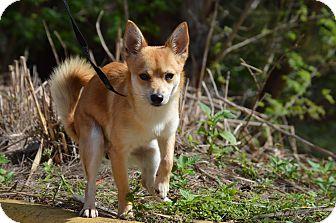 Pomeranian Mix Dog for adoption in Miami, Florida - Fenic