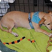 Adopt A Pet :: Rackett - Houston, TX