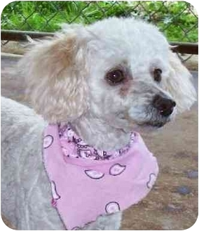 Poodle (Miniature) Dog for adoption in Chapel Hill, North Carolina - Cassy