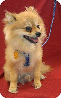 Pomeranian Dog for adoption in Umatilla, Florida - Happy