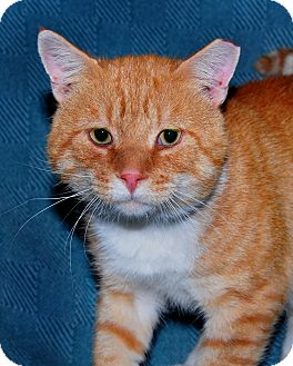 Domestic Shorthair Cat for adoption in Colonial Heights, Virginia - Marmalade