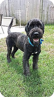 Labrador Retriever/Poodle (Standard) Mix Dog for adoption in Pt orange, Florida - Stanley