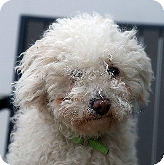 Miniature Poodle Dog for adoption in Berkeley, California - Jill