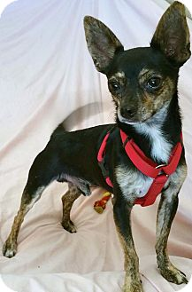 Toy Fox Terrier/Chihuahua Mix Dog for adoption in Phoenix, Arizona - Danny Boy