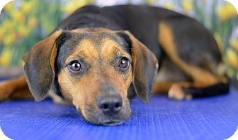 Beagle/Hound (Unknown Type) Mix Dog for adoption in LAFAYETTE, Louisiana - MAGGIE MAE