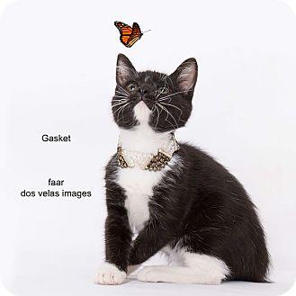 Domestic Shorthair Kitten for adoption in Riverside, California - Gasket