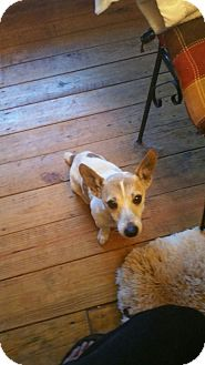 Jack Russell Terrier Mix Dog for adoption in Demorest, Georgia - Hamilton