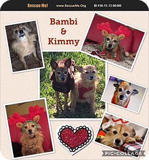 Cairn Terrier/Chihuahua Mix Dog for adoption in hollywood, Florida - Kimmy and Babi