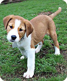 Border Collie/Mixed Breed (Medium) Mix Puppy for adoption in Shreveport, Louisiana - Bailey