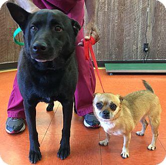 Spitz (Unknown Type, Medium)/Pug Mix Dog for adoption in Van Nuys, California - *URGENT* Velvet & Lily