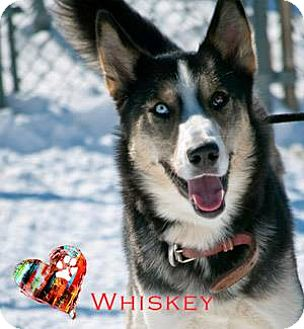 Husky/Husky Mix Dog for adoption in Ottawa, Ontario - Whiskey
