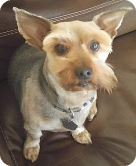 Yorkie, Yorkshire Terrier Dog for adoption in Orlando, Florida - Wicket