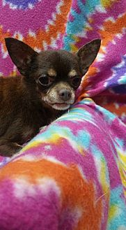 Chihuahua Dog for adoption in Crump, Tennessee - Miles