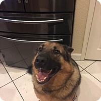 German Shepherd Dog Dog for adoption in Coral Springs, Florida - Chance 0742