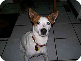 Jack Russell Terrier Mix Dog for adoption in Cincinnati, Ohio - Bill
