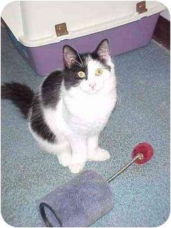 Domestic Longhair Kitten for adoption in Quincy, Massachusetts - Brewskie