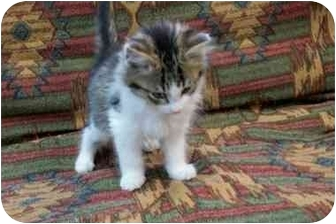 Domestic Longhair Kitten for adoption in Little Falls, Minnesota - Bashfull