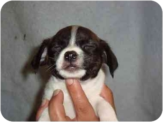 Spaniel (Unknown Type)/Boston Terrier Mix Puppy for adoption in Bristow, Oklahoma - Magellan
