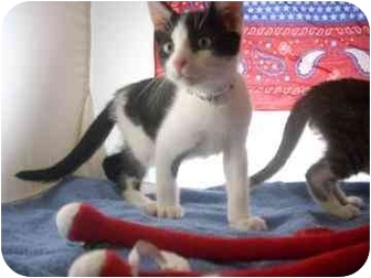 Domestic Shorthair Kitten for adoption in North Charleston, South Carolina - Austin
