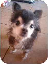 Chihuahua Dog for adoption in Phoenix, Arizona - Rufus
