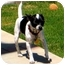 Photo 4 - Toy Fox Terrier/Chihuahua Mix Dog for adoption in San Diego, California - Oreo