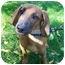 Photo 2 - Dachshund Mix Dog for adoption in Avon, New York - Hunter