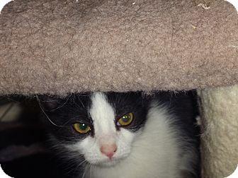 Domestic Mediumhair Kitten for adoption in Escondido, California - Diamond
