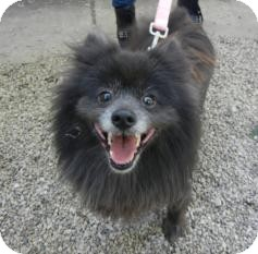 Pomeranian Dog for adoption in Antioch, Illinois - Polly ADOPTED!!