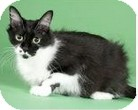 Domestic Shorthair Cat for adoption in Hainesville, Illinois - Claudine