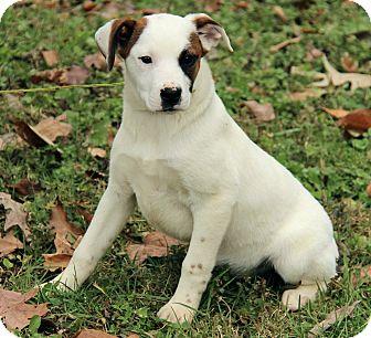 Mastiff/Australian Cattle Dog Mix Puppy for adoption in Spring Valley, New York - Lilly