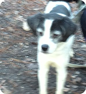 Beagle Mix Dog for adoption in Tinton Falls, New Jersey - Jack